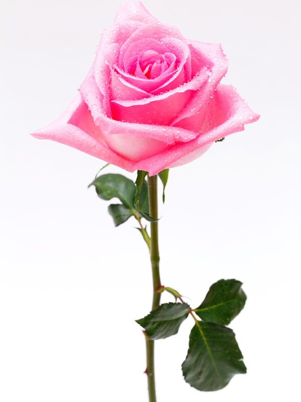 The meaning behind rose colours 29secrets the meaning behind rose colours mightylinksfo